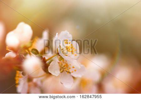 Selective focus on flower stamens and pistil - flowering, blooming fruit tree