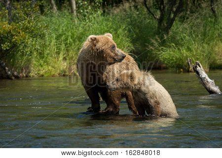 Alaskan Brown Bear Sow With Cub
