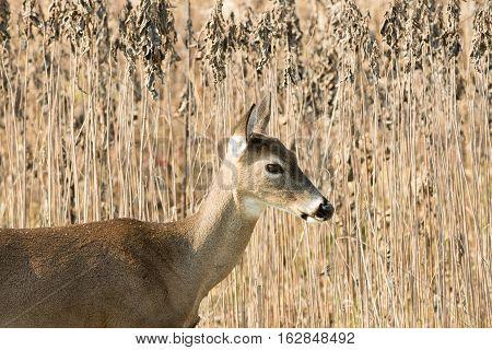 White-tailed Deer Doe In Weeds