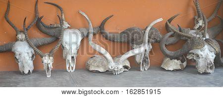 image of a row of animal skulls