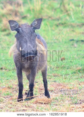 an image of a warthog in Africa