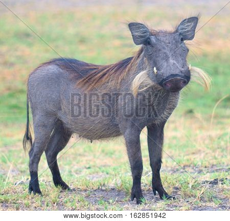 an image of big warthog in Africa