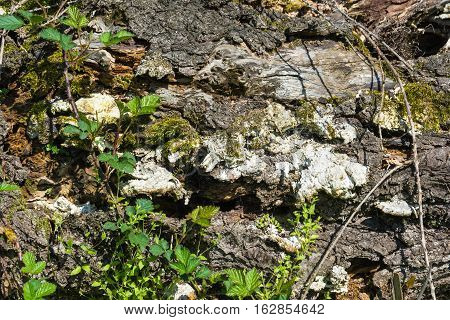 Texture Of An Old Rotten Tree Trunk.