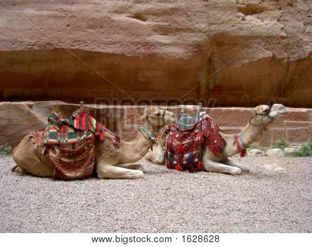 two camels laying down in Petra Jordan Middle East poster
