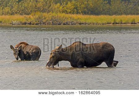 Mom and Baby Moose in Fishercap Lake in Glacier National Park in Montana