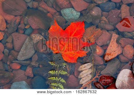 Red maple leaf floating in a puddle