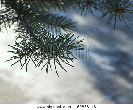 Firtree isolated on white snow. background, nature closeup
