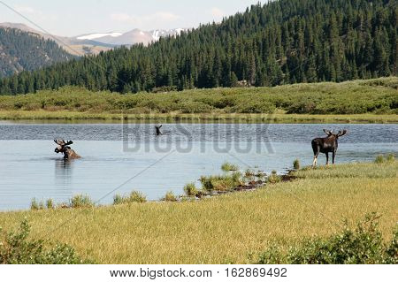 A group of bull moose eating in a pond