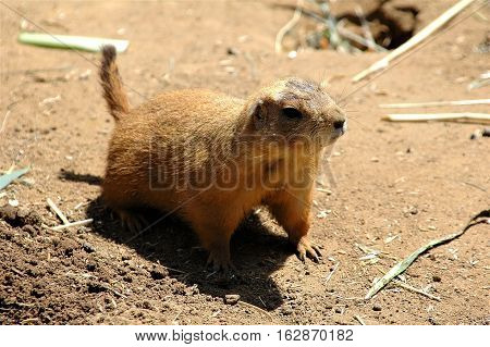 Prairie dog posing next to its burrow