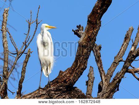 Great Egret (Ardea alba) Standing on tree branch