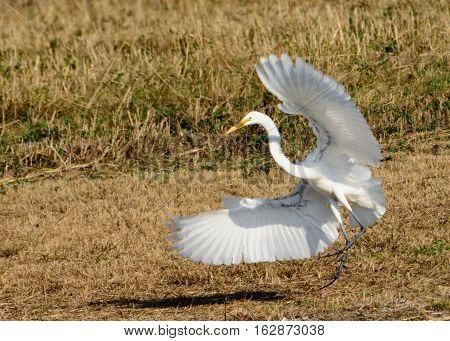 Great Egret (Ardea alba) Landing in field.