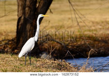 Great Egret (Ardea alba) Standing Tall on Bank of Lake