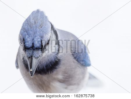 A Blue Jay perched on tree branch looking down.