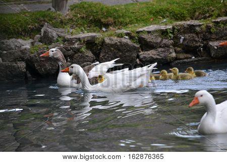adult and baby swans swimming along in the pools at San Miguel Regla Hacienda in Huasta de Ocampo, Hidalgo Mexico