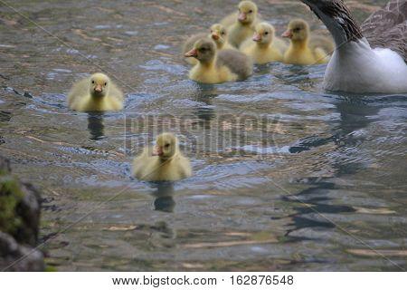 baby swans (cygnets) swimming along in the pools at San Miguel Regla Hacienda in Huasta de Ocampo, Hidalgo Mexico
