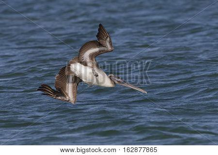Immature Brown Pelican Diving Toward The Water - Florida