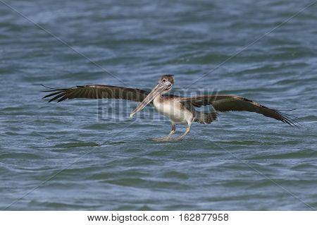Immature Brown Pelican Landing In The Ocean - Florida