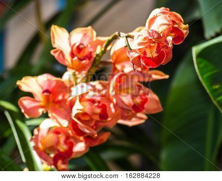Red cymbidium flower , beauty in nature