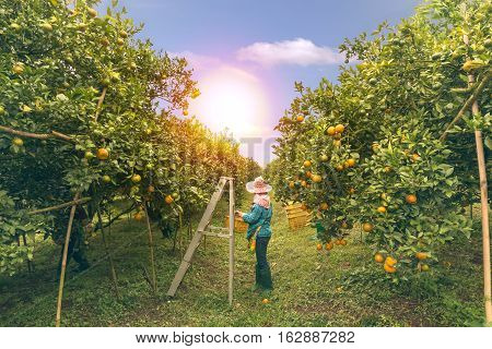background Farmer harvesting oranges fruit farm green garden
