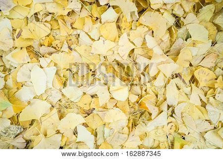close up yellow falling ginkgo leaves on ground