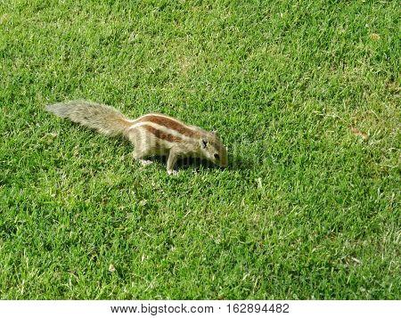 Little cute striped chipmunk in the grass in India