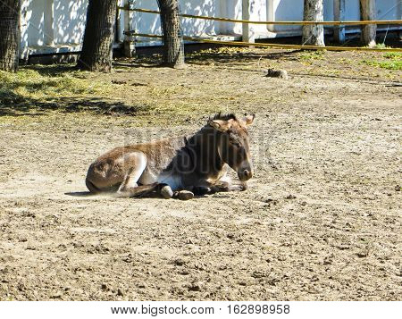 Young donkey on a ground in the zoo