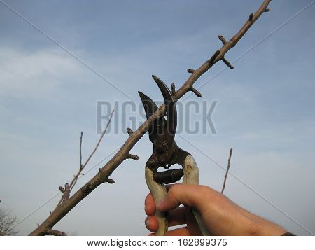 Pruning shears trees. Work in the garden of. Cutting branches restoring order. Caring for the trees in the garden.