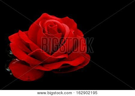 Single red rose to swim on the water- black background