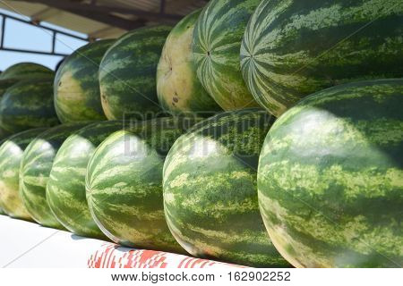 Water-melons on a counter. Sale of a summer crop.