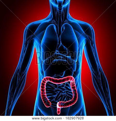 3d illustration human body large intestine,human body part.