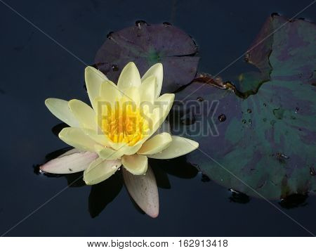 Yellow water lily in pond close up
