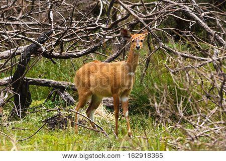 Rufous bushbuck. Portrait of animal. Aberdare, Kenya
