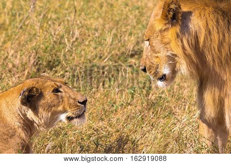 Stern look of lion. Lion and lioness in the savanna. Kenya, Africa