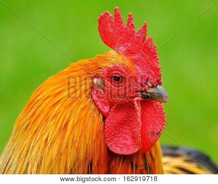 Profile of Cockerel with green background behind
