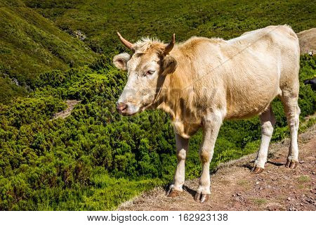 Cow standing in mountains region od Madeira island