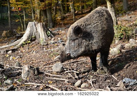 a wild boar in the autumn in the forest to look for food