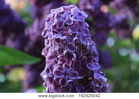 Sweet Lilac on the green background. Sweet Lilac. Lilac flowers. Green branch with spring lilac flowers.