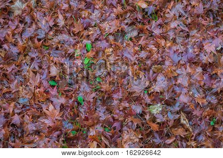 Dried maple leave on floor as texture background