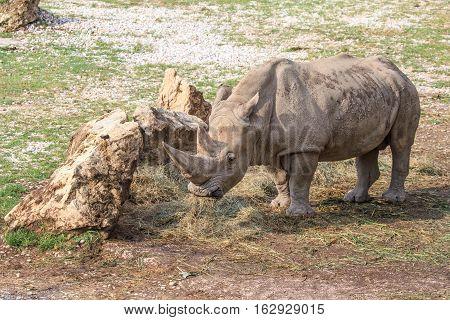 White Rhinoceros Standing Near A Stone