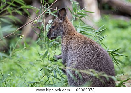 Bennett Red Necked Wallaby Among The Vegetation