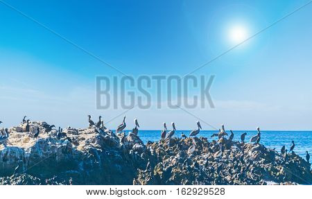 group of pelicans on a rock in Laguna Beach California