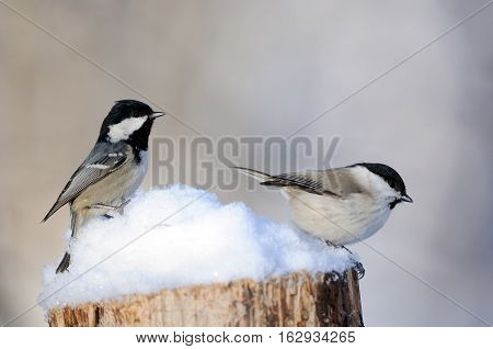 Coal tit (Periparus ater Parus ater) and Willow tit (Poecile montanus) in snow at sunny winter day. Kaluga region Russia