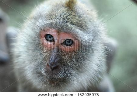 Close-up of a monkey face in a natural forest of Thailand.