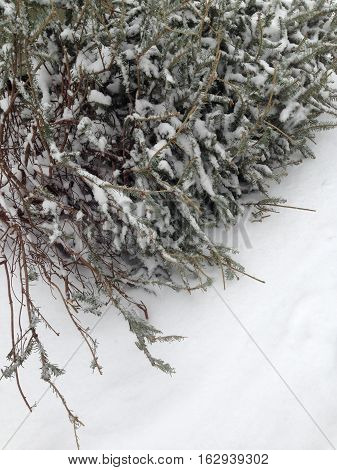 Christmas tree lying down on white snow after holiday season.