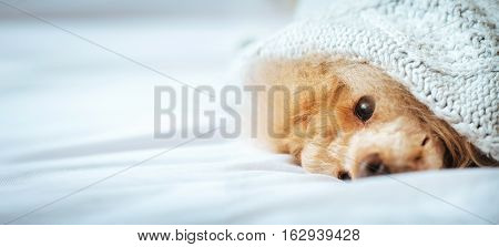 Poodle dog is lying and slepping under the blanket in bed, having a siesta.