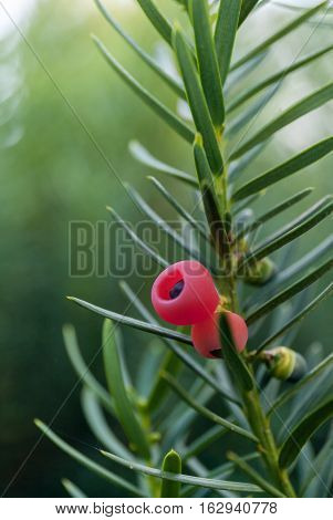 Juniper berries. Juniperus communis. branch stock photo