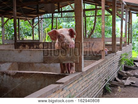 Pig is standing in the rural pigsty