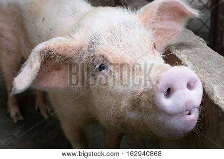 Young pink pig at rural pigsty, cute swine portrait