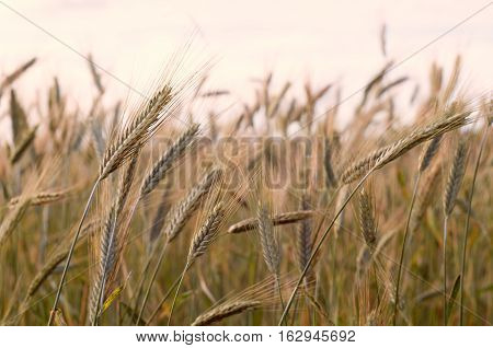 Close up view of growing yellow rye ears