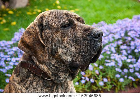 close-up portrait of Brazilian Mastiff or Fila Brasileiro at the park